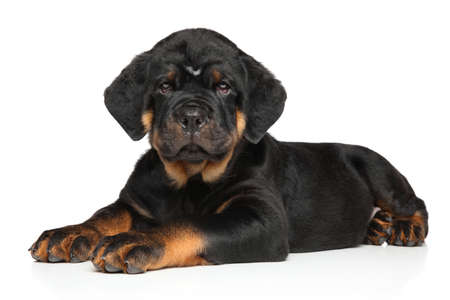 rotweiler: Rottweiler puppy dog lies down on white background Stock Photo
