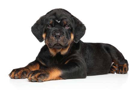 lies down: Rottweiler puppy dog lies down on white background Stock Photo