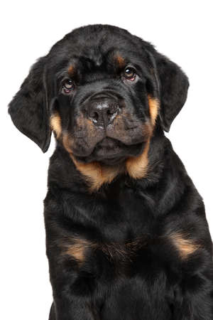 rotweiler: Close-up of Rottweiler puppy dog portrait isolated on white background