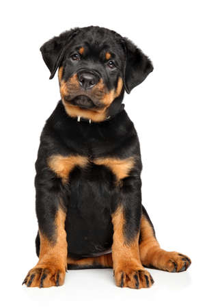 rotweiler: Rottweiler puppy sits in front of white background Stock Photo