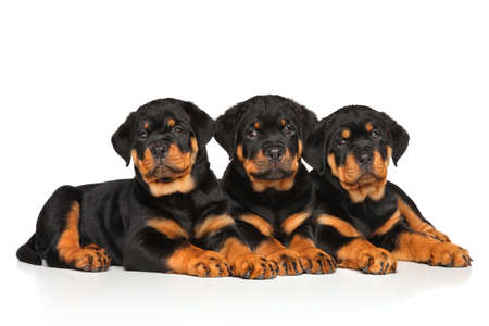 rotweiler: Rottweiler dog puppies lying down on a white background