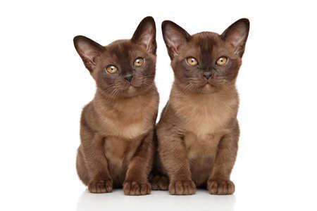 white cat: Two chocolate Burmese kitten on white background