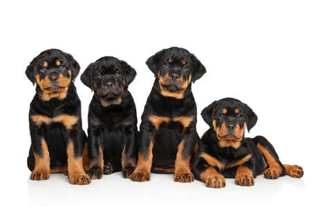 rotweiler: Group of Rottweiler puppies. Portrait on white background Stock Photo