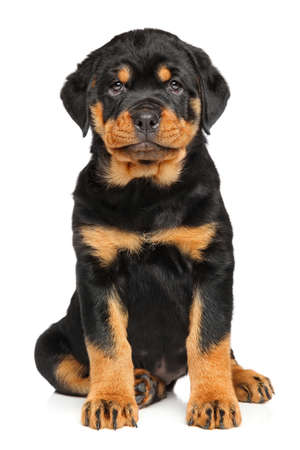 rotweiler: Rottweiler puppy dog in front of white background