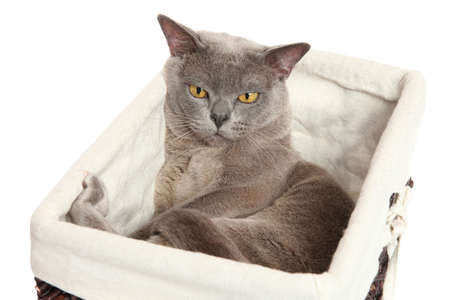 burmese: Sleepy Burmese cat lying in a basket on white background