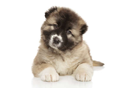 fluffy: Cute Caucasian shepherd puppy on white background Stock Photo