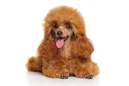 Toy Poodle cachorro acostado sobre un fondo blanco