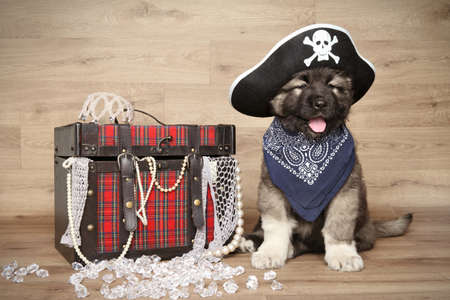 caucasian shepherd: Caucasian shepherd in headscarf and pirate hat on wooden background