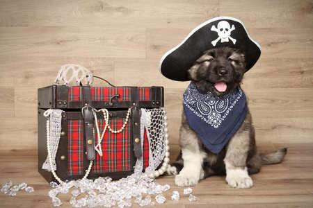 sombrero pirata: Pastor caucásico en pañuelo y sombrero de pirata en fondo de madera