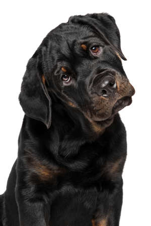 rotweiler: Close-up of Rottweiler puppy isolated on white background