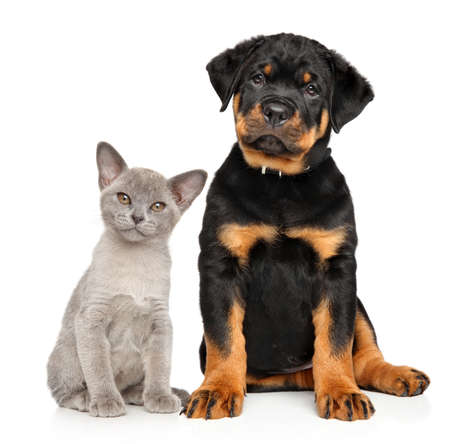 rotweiler: Cat and dog together sits on a white background