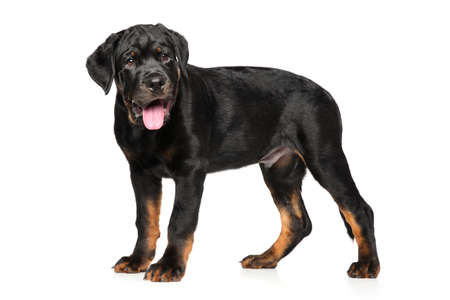 rotweiler: Rottweiler puppy posing on white background