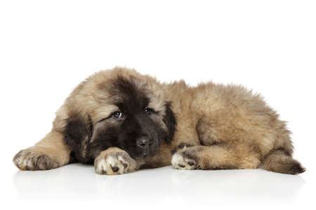 caucasian shepherd: Small cute funny Caucasian shepherd puppy laying on white background
