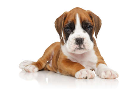 white dog: Portrait of a German Boxer puppy lying down on white background Stock Photo