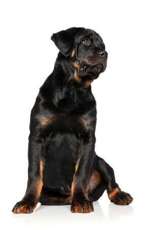 rotweiler: Rottweiler puppy sits on white background