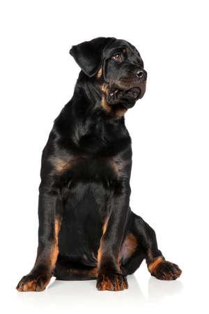 rotweiler: Rottweiler puppy sits on white background