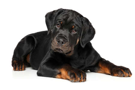 rotweiler: Rottweiler puppy portrait on white background