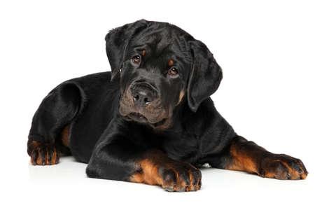 rotweiler: Rottweiler puppy portrait on white background