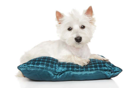 purebred dog: Highland white Terrier westie. Portrait of cute puppy on pillow