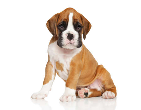 whelp: Portrait of a German Boxer puppy sits on white background Stock Photo