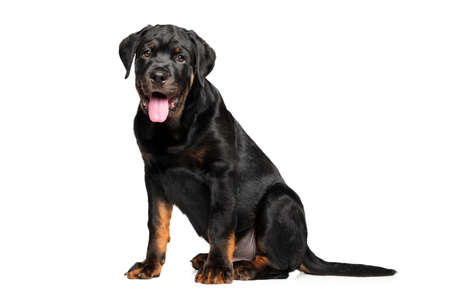rotweiler: Young Rottweiler on white background Stock Photo