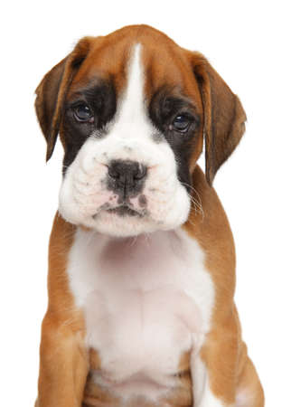 whelp: Close-up of German Boxer puppy isolated on white background Stock Photo