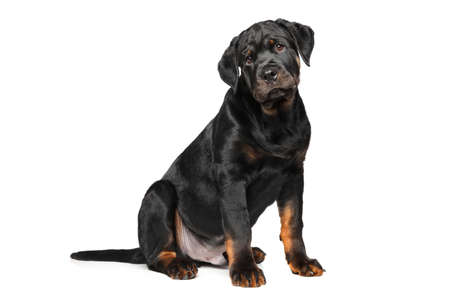 rotweiler: Purebred Rottweiler puppy sits in front of white background Stock Photo