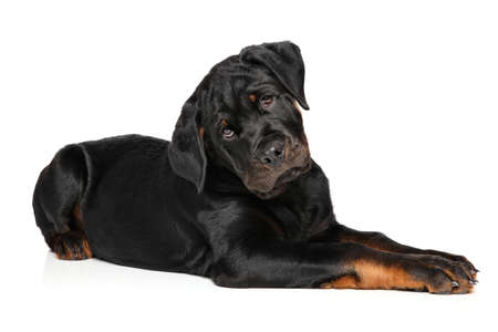 rotweiler: Rottweiler puppy lying down in front of white background Stock Photo