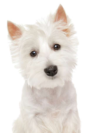 Close-up portrait of Highland white Terrier westie isolated