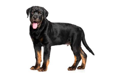 rotweiler: Rottweiler puppy in stand on white background