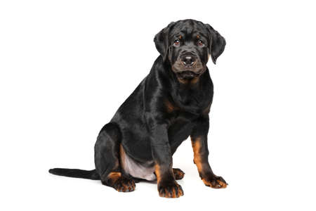 rotweiler: Adorable Rottweiler puppy on white background Stock Photo