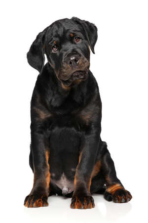 rotweiler: Cute Rottweiler puppy sits in front of white background