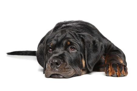 rotweiler: Rottweiler puppy resting on a white background