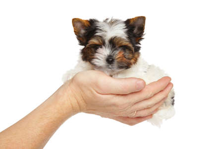 yorky: Biewer Yorkshire Terrier puppy in hand on a white background