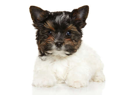 yorky: Close-up of Biewer York puppy in front of white background