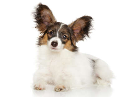 animal ear: Papillon dog is lying on a white background Stock Photo