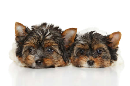 yorky: Biewer Yorkshire Terrier puppies in front of white background Stock Photo
