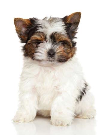 familiaris: Biewer York puppy in front of white background