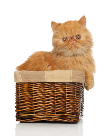 persian cat: Ginger Persian cat in basket on white background