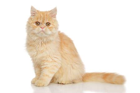 Gatto persiano siede su sfondo bianco Archivio Fotografico - 68625690