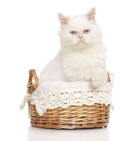 persian cat: White Persian cat near with a basket on white background