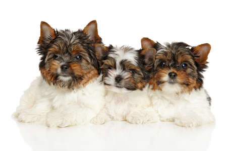 yorky: Biewer Yorkshire Terrier puppies lying on a white background Stock Photo