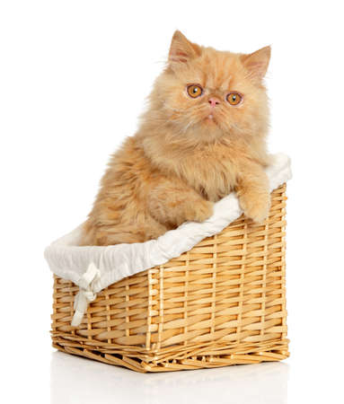white cat: Ginger Persian cat in basket on a white background Stock Photo