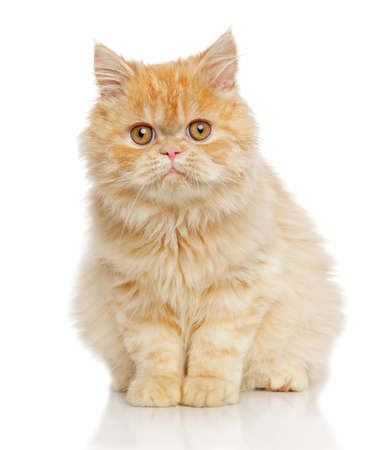 persian cat: Persian cat sits in front of white background