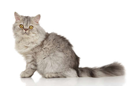 persian cat: Grey Persian cat on white background Stock Photo