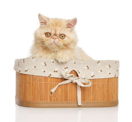 persian cat: Persian cat in basket on white background