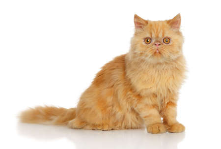 persian cat: Ginger Persian cat in front of white background Stock Photo