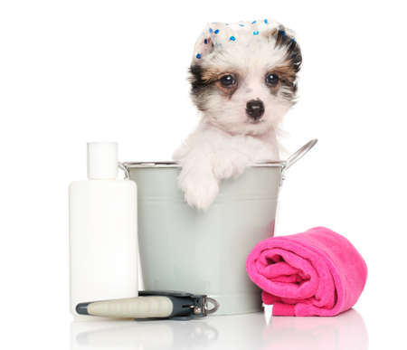 Chinese Crested dog puppy after a bath isolated on a white background