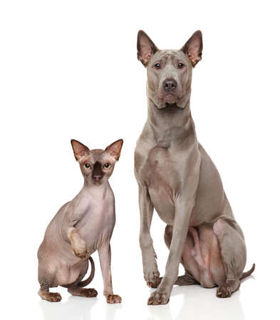 grey cat: Canadian Sphynx cat and Thai Ridgeback dog in front of white background Stock Photo
