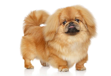 Ginger Pekingese dog. portrait on white background Stock Photo